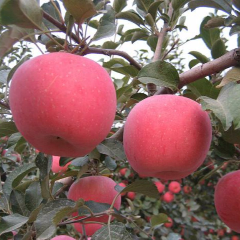烟富8苹果 种苗