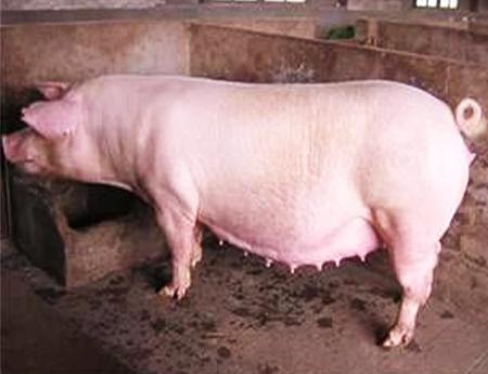 长太二元母猪价格
