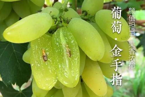 金手指葡萄 种苗