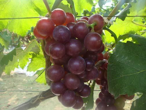 藤稔葡萄 种苗