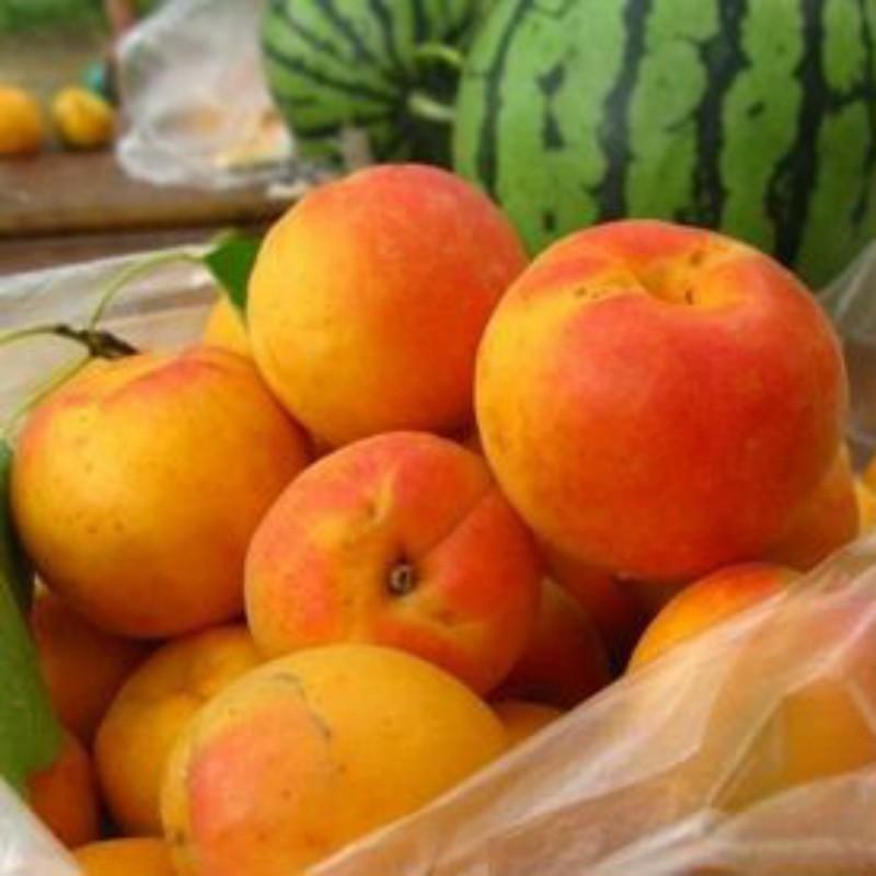 红玉杏 种苗