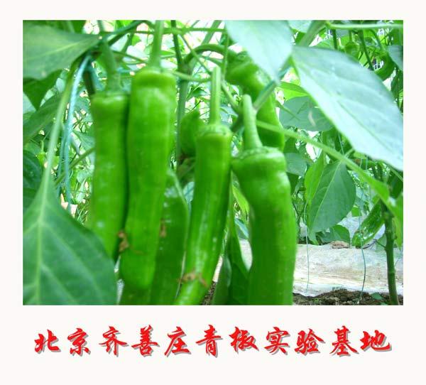 北京齐善庄青椒实验基地