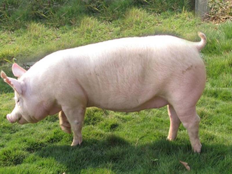 养猪指南,现代猪苗厂家喂养方法