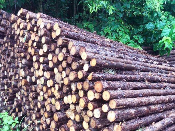 杉木在建筑中的应用及特性