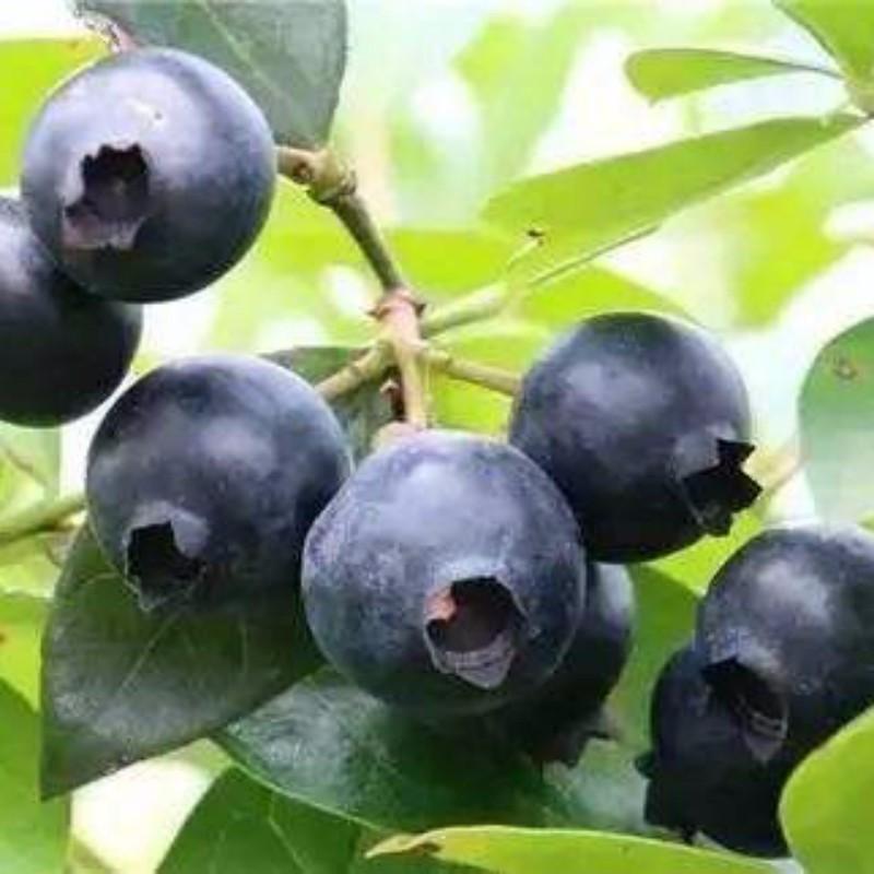 黑珍珠蓝莓 种苗