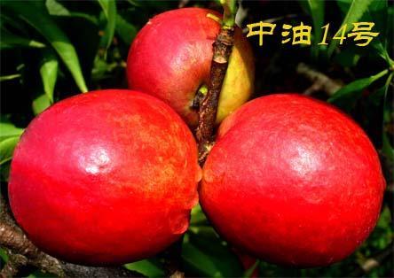 中油桃14号 种苗