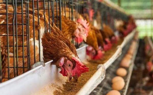 自動化雞籠養殖配置的分類先容