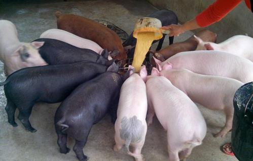 莒南县四季牧场仔猪购销社常年向养殖户提供猪苗批发