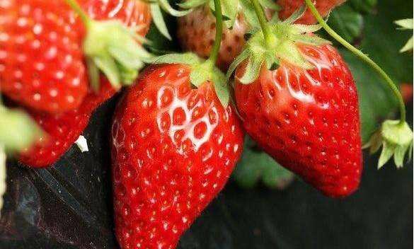 法兰地草莓 种苗
