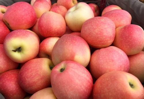 嘎啦苹果 种苗