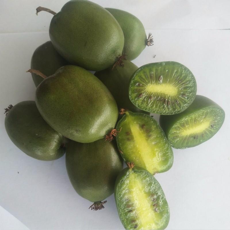 LD241(软枣猕猴桃)种苗