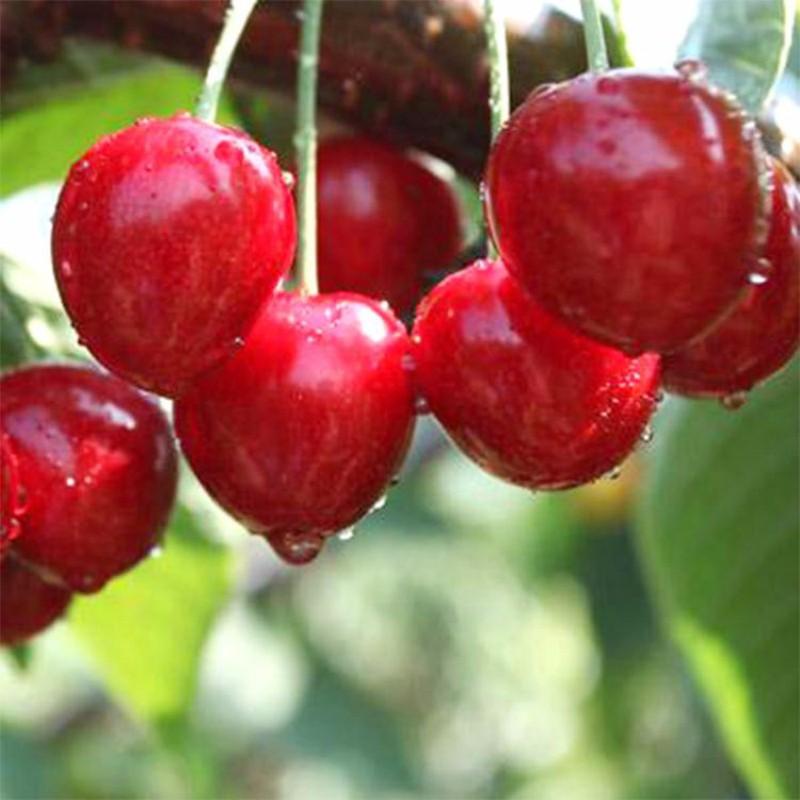 萨王大樱桃 种苗