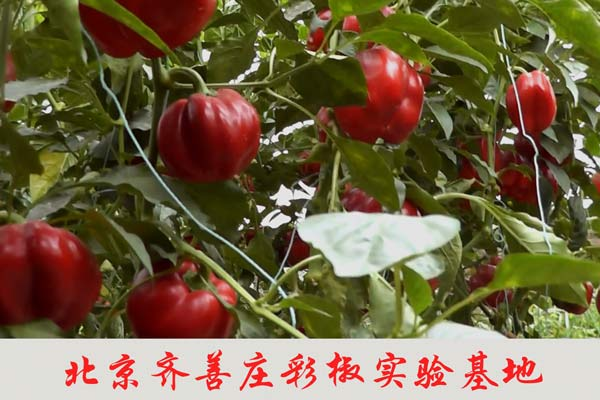 北京齐善庄彩椒实验基地