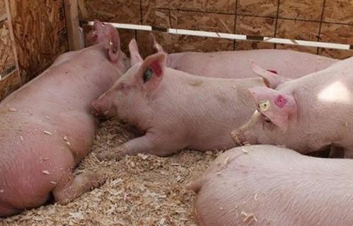 现在仔猪多少钱一斤  猪苗批发价格是多少
