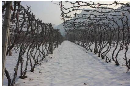 抗寒葡萄种植注意事项
