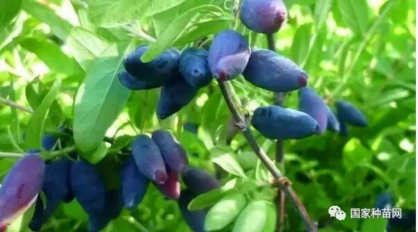 蓝靛果种植管理技术