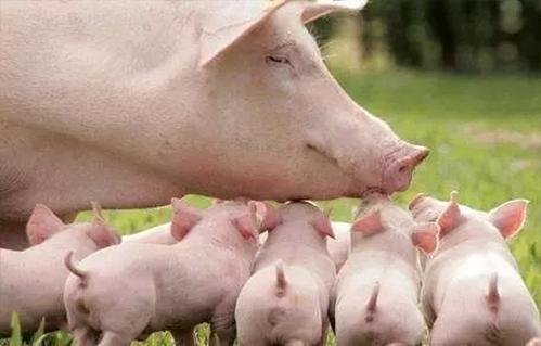仔猪在各个时期的饲养方法