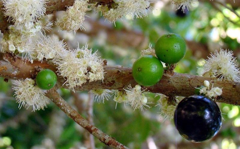 乐山风铃园告诉你关于嘉宝果的特性及优点