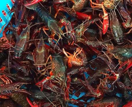 原生态大龙虾如何获得氧气