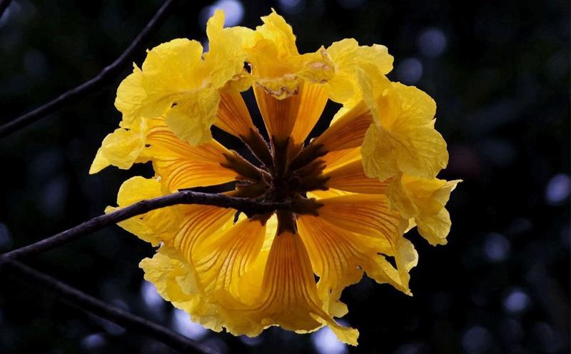 黄花风铃,花语为感谢,感谢你曾经来过,点亮璀璨了我的人生