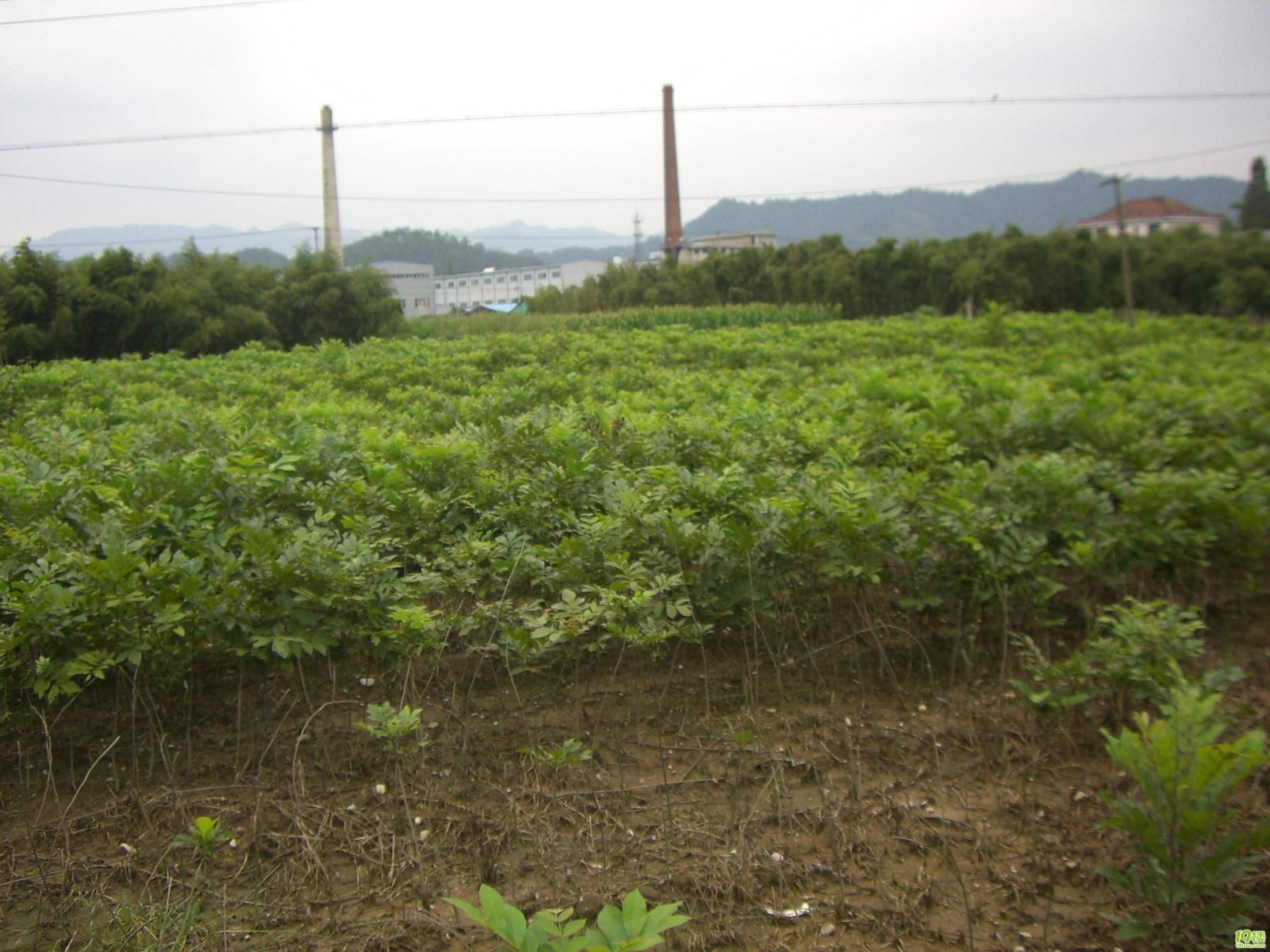 美国薄壳山核桃 种苗