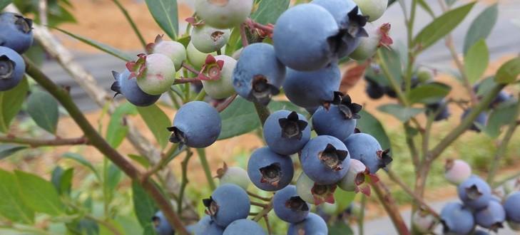什么人不適合吃藍莓?