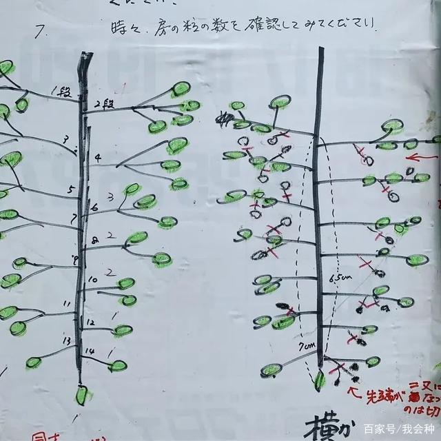"""阳光玫瑰精品果整穗""""三步曲"""":疏果摘粒关键"""