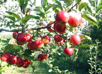 金红苹果 种苗
