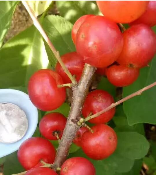 钙果种植管理技术及综合分析