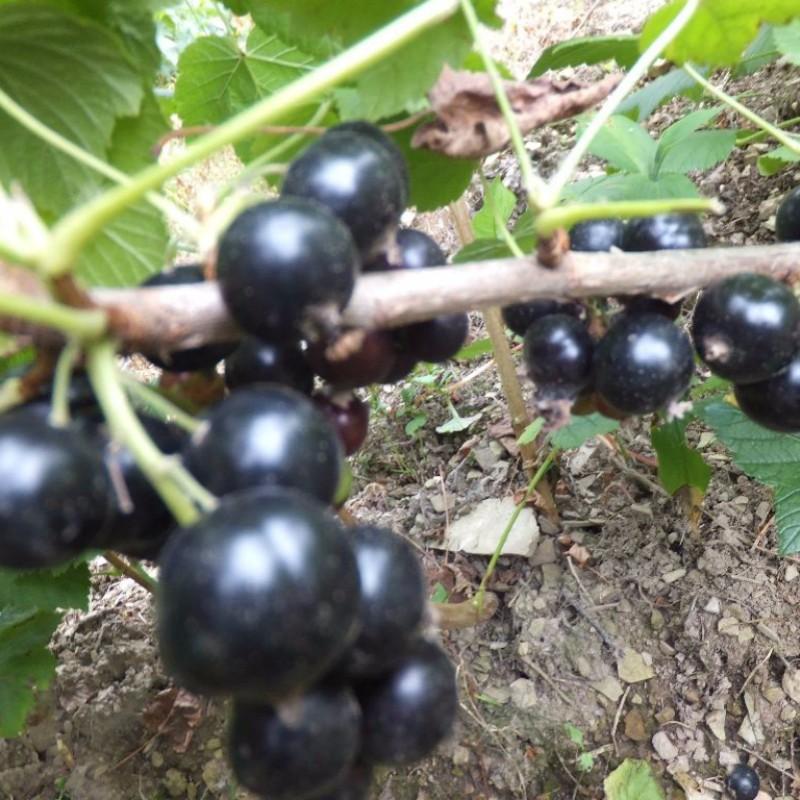 黑加仑 种苗