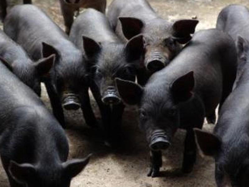 饲养山东仔猪时常见问题及解决方法