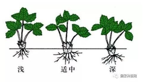 草莓苗繁殖方式及选择技巧
