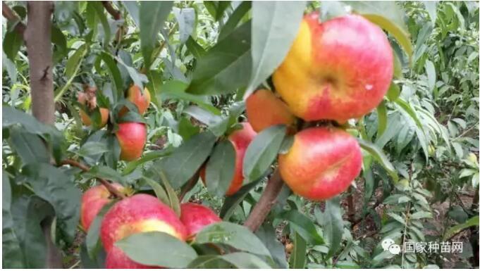 桃树定植及管理要点