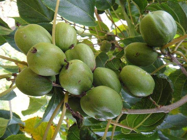 魅绿(软枣猕猴桃)种苗