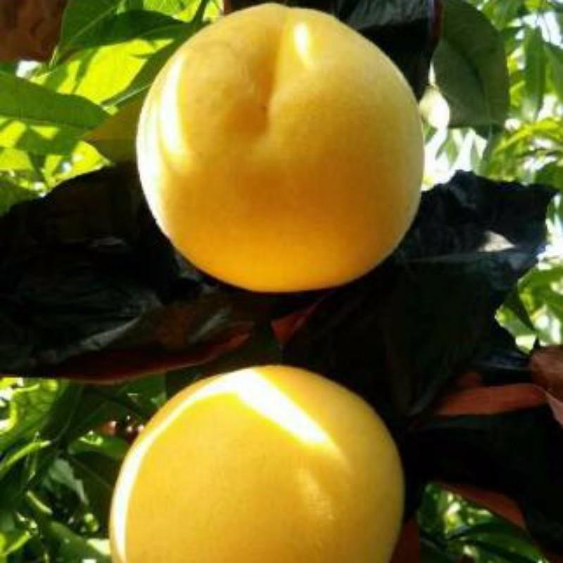 锦艳油桃 种苗