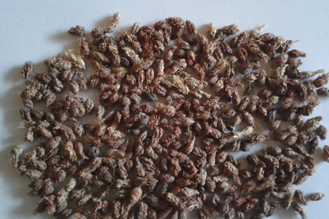 沙拐枣种子