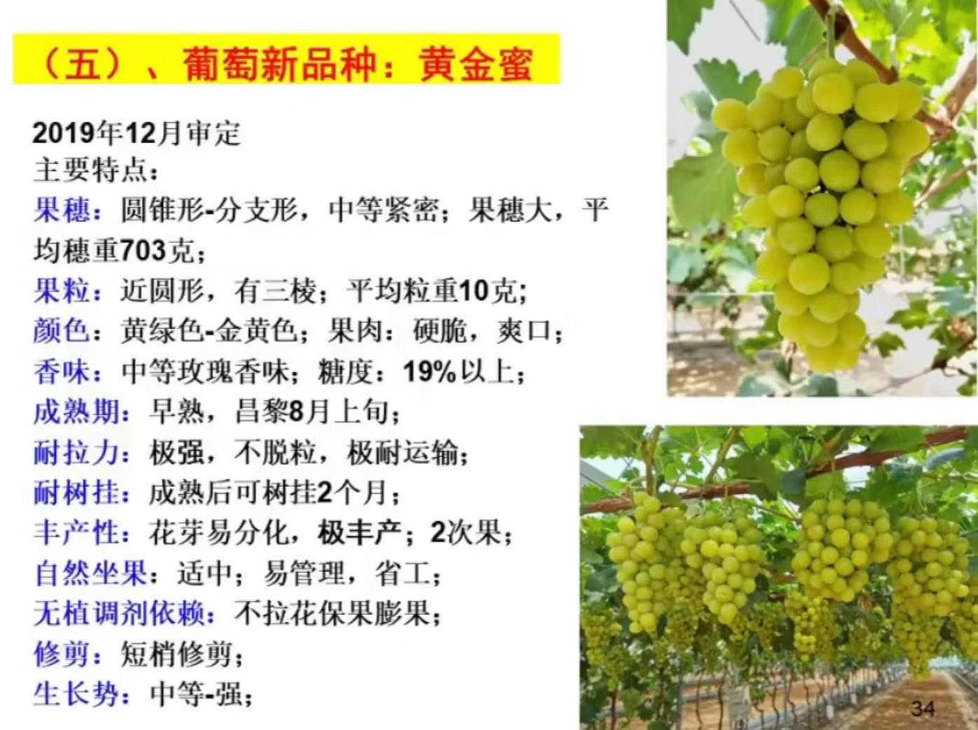 黄金蜜葡萄 种苗