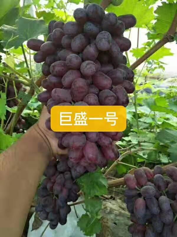 巨盛一号葡萄 种苗