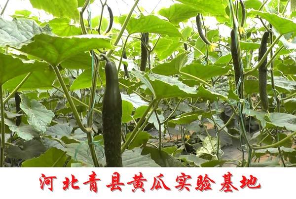 河北青县黄瓜实验基地