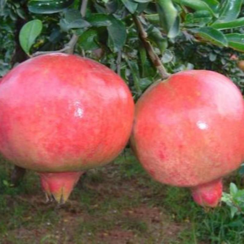 泰山大红石榴 种苗