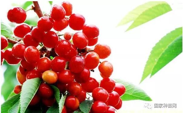 大樱桃主要病虫害防治技术