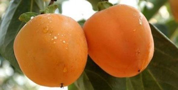 牛心柿 种苗