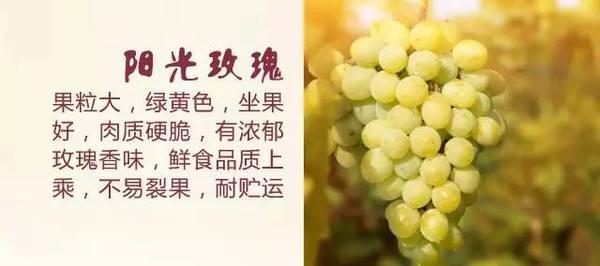 阳光玫瑰葡萄 种苗