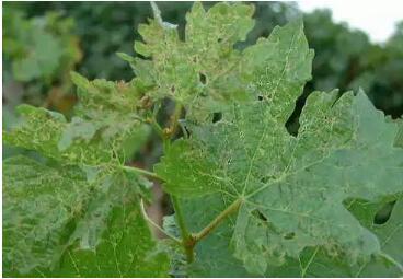葡萄(及种苗)病虫害图谱