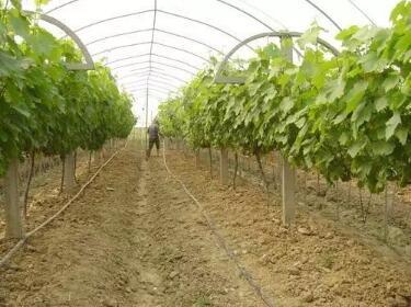 葡萄如何浇水能高产?