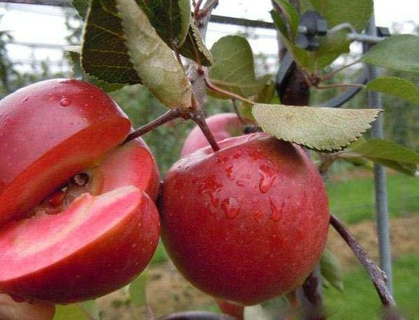 红肉苹果 种苗