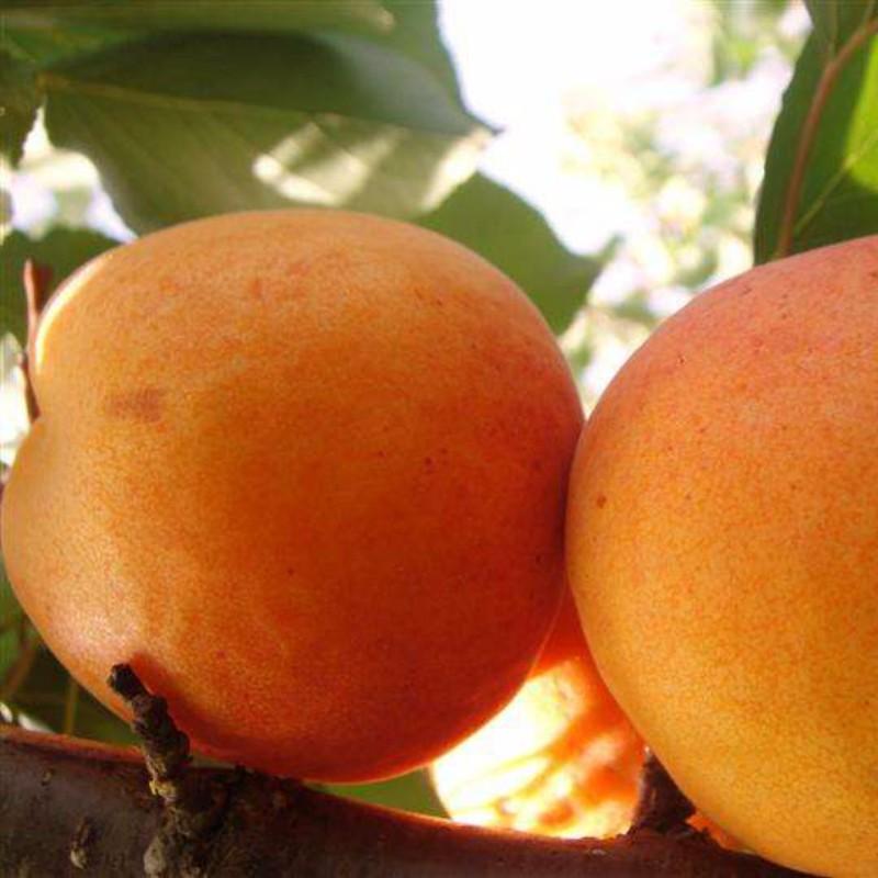 中香蜜杏 种苗