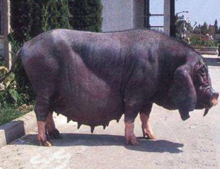 太湖一代高产母猪