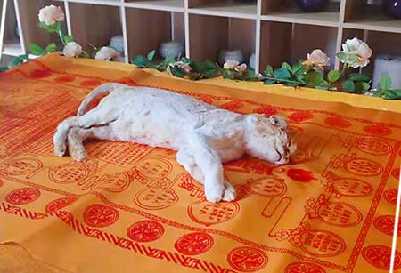 宠物猫殡葬服务