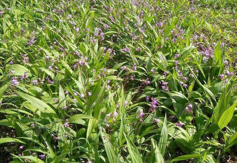 紫花地丁花种